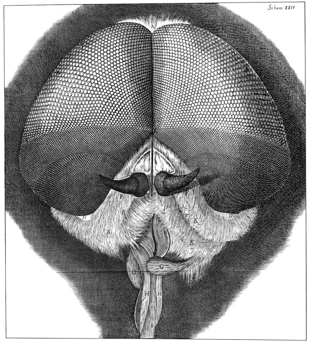 Robert Hooke, Facettenaugen (Foto: Robert Hooke/ Wikimdia)
