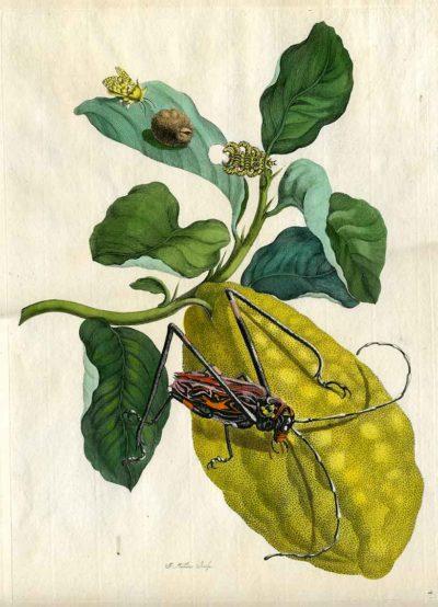 Kolorierter Kupferstich von Maria Sibylla Merian (1705) auf der Antik & Art beim Kunstkabinett Strehler (Abb.: Kunstkabinett Strehler, Sindelfingen)