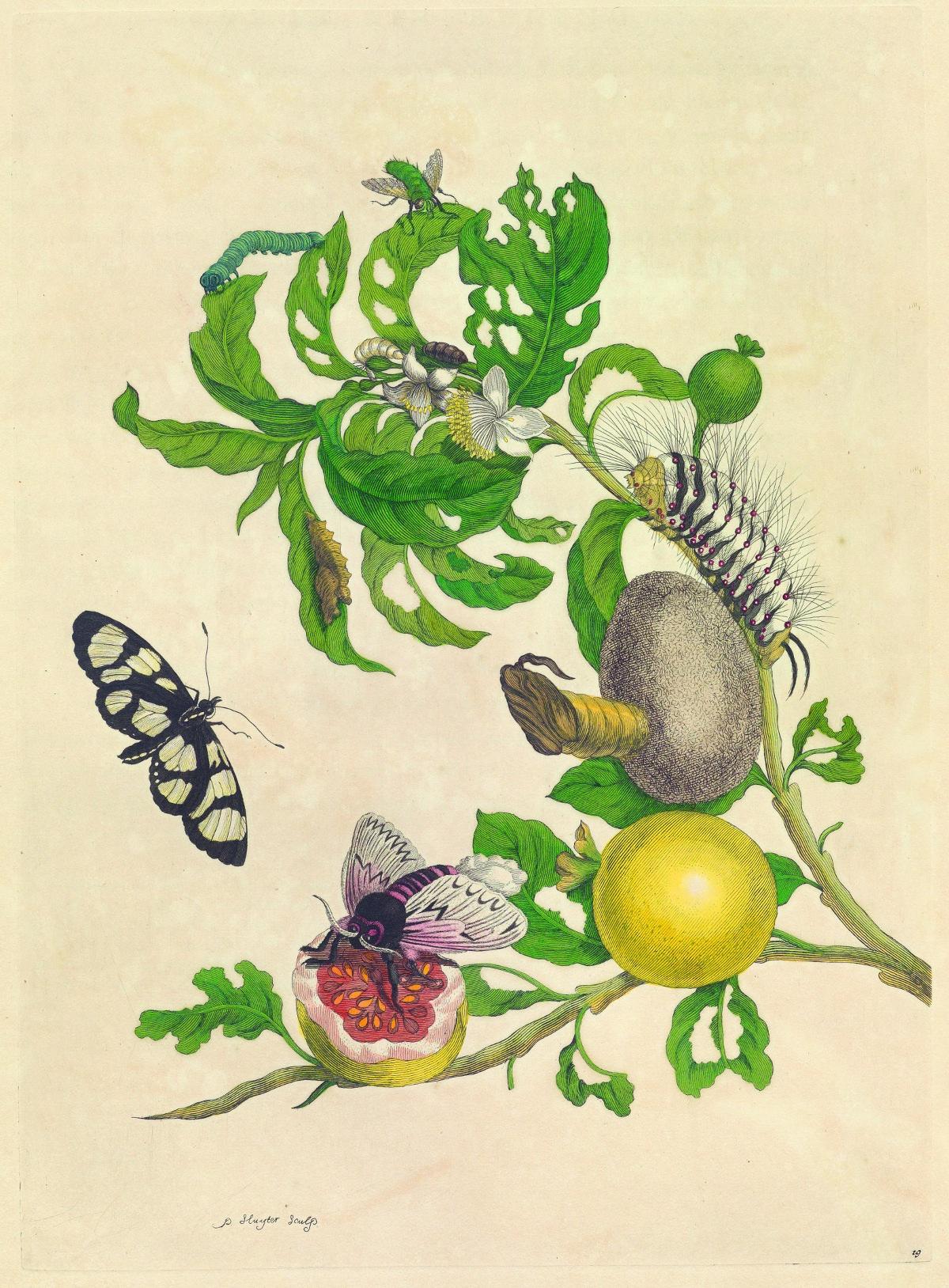 Falter, Raupen und Puppen bevölkern einen Guavenbaum in Surinam Werk aus Maria Sibylla Merians Metamorphosen (Abb.: Wissenschaftliche Buchgesellschaft, Darmstadt)