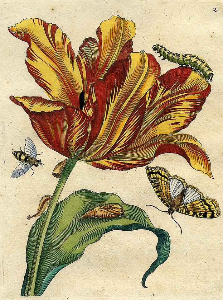 """Maria Sibylla Merian (1647–1717), """"Tulpe"""", kolorierter Kupferstich, angeboten von Kunstkabinett Strehler, Sindelfingen"""