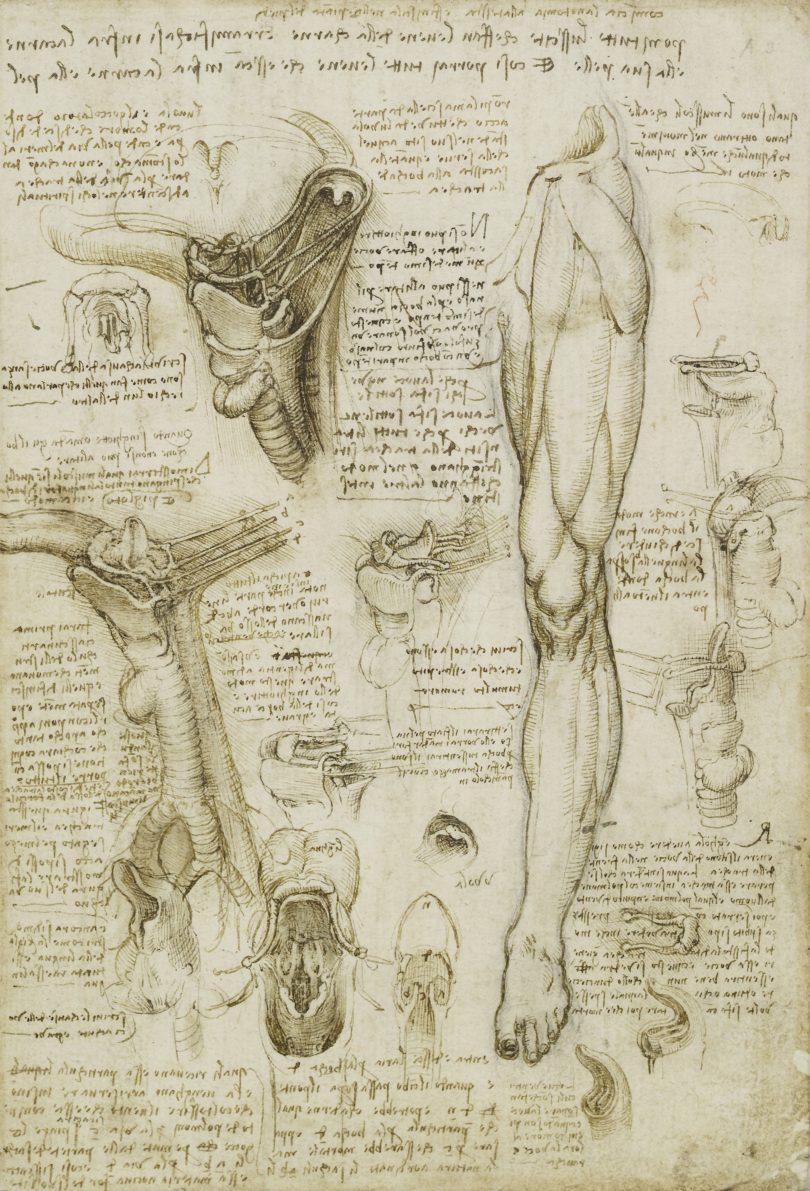 Leonardo brüstete sich im Rückblick damit, dreißig Leichen seziert zu haben. Viele Jahre lang betrieb er intensiv anatomische Studien und zeichnete akribisch die Details wie hier ein Bein und die Organe zum Atmen, Schlucken und Sprechen, um 1509/10. Bild: Royal Collection Trust / © Her Majesty Queen Elizabeth II 2019